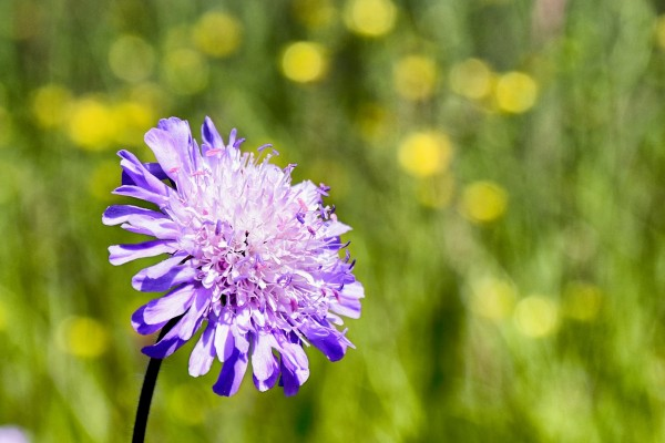Witwenkopfblume
